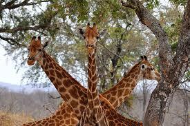 Giraffe Tree Huggers