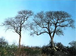 Kirkia acuminata