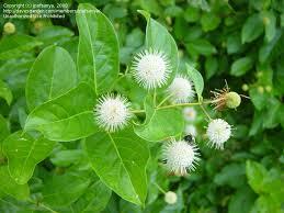 Quinine Tree Flowers