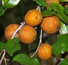 Quinine Tree Fruit