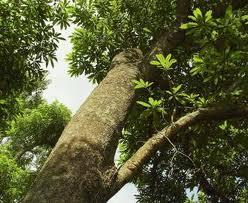 Quinine Tree Trunk