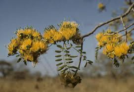 Wild Mango Flowers