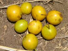 Wild Mango Fruit