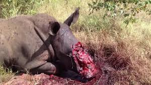 Another Rhino Poaching Victim
