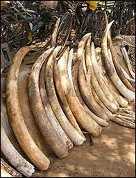 Elephant Tusks and Equipment taken from Poachers
