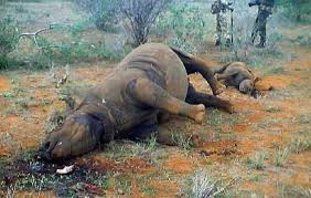 More Rhino Poaching in KNP