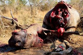 Rhino Poaching in KNP