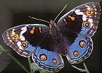 Eyed Pansy butterfly (Steve Woodhall)